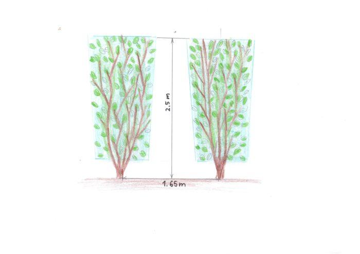 razmak sadnje grmlja