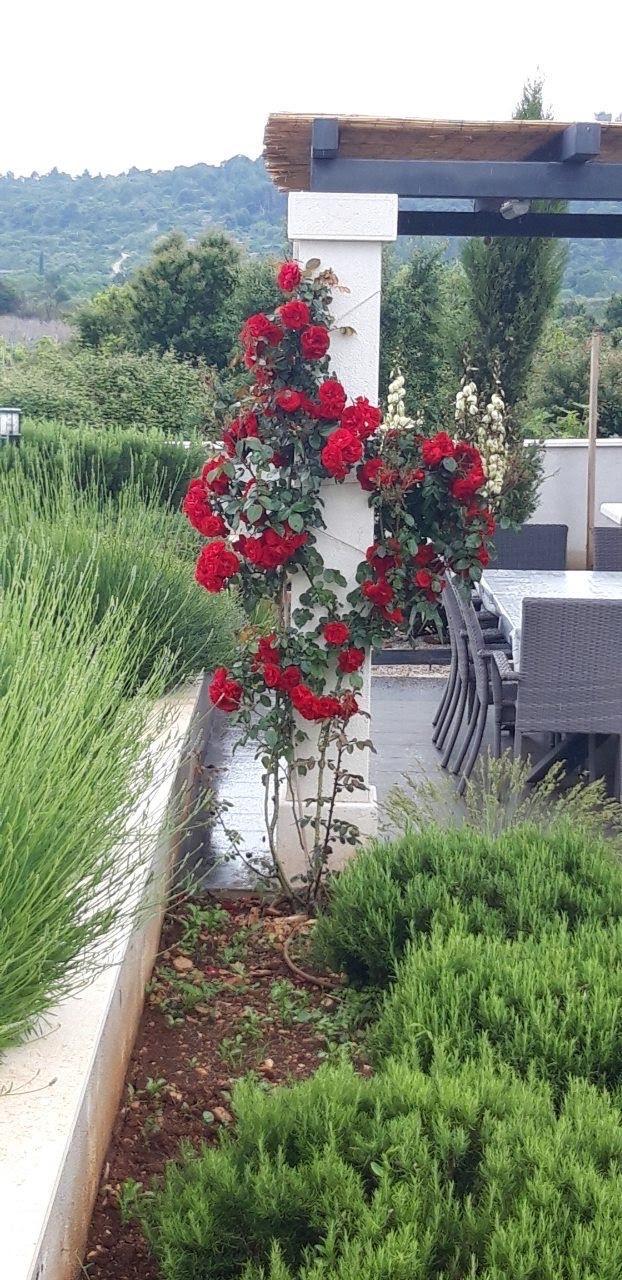 Ruže ruža penjačica