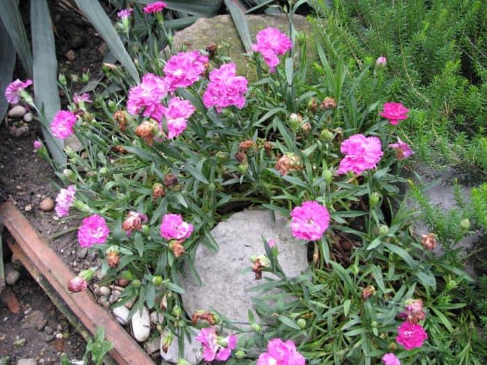 Dianthus klinčić kamenjar u vrtu