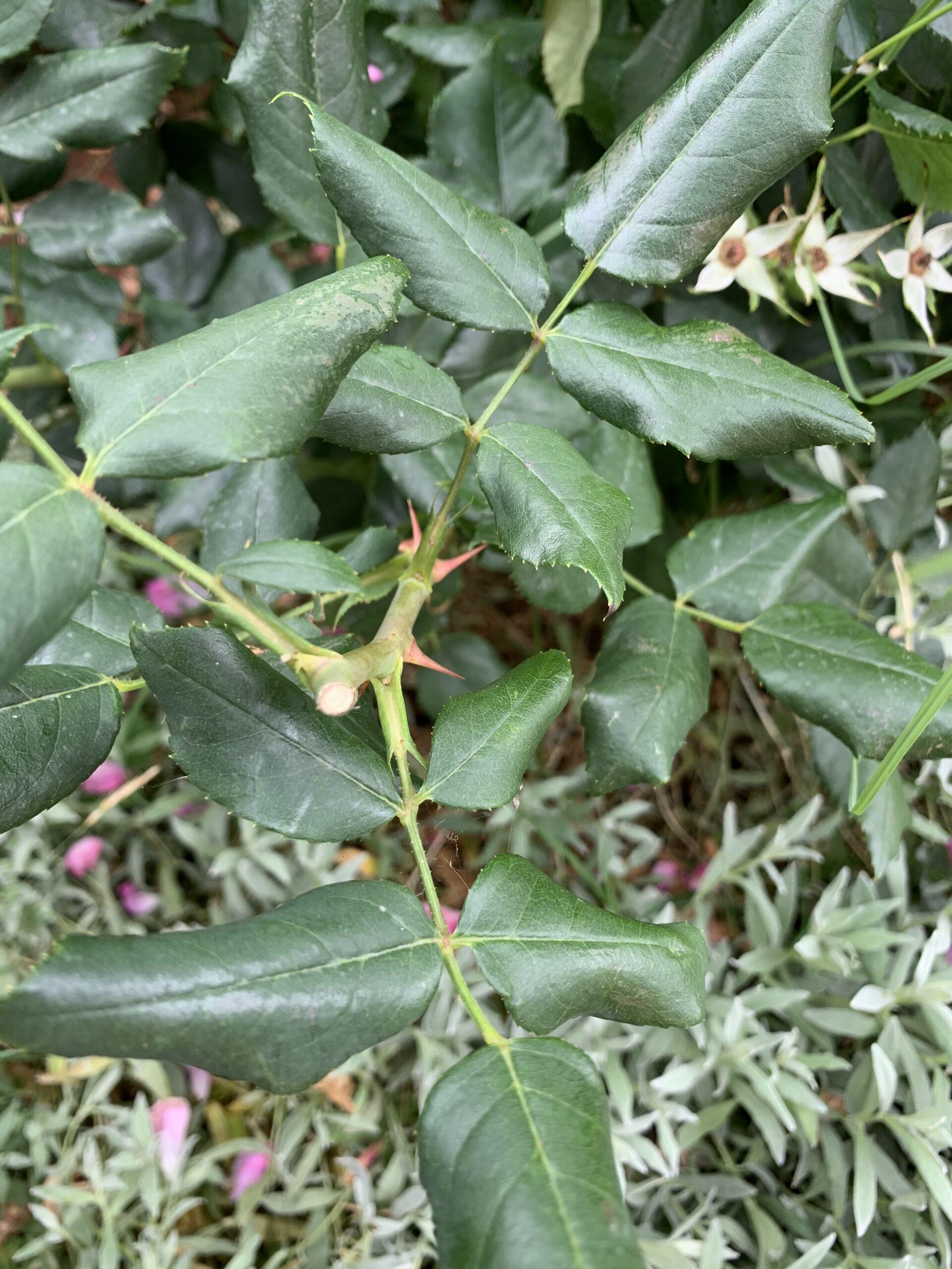 svibnju orezana ruža