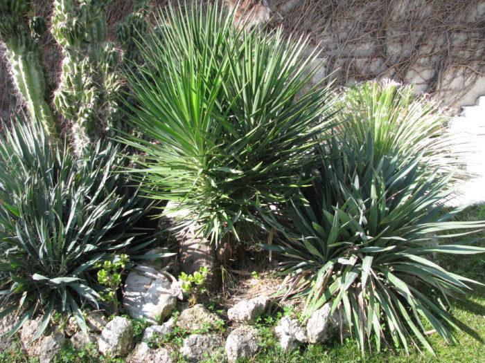 Juka - Yucca aloifolia