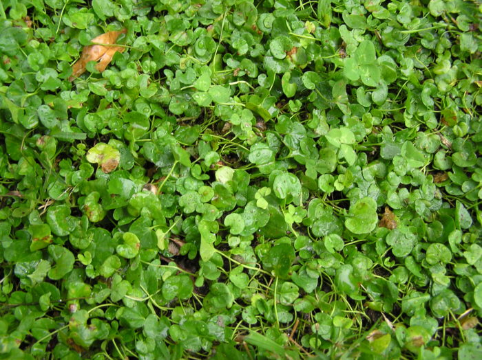 Dihondra travnjak