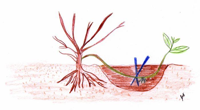Razmnožavanje grebenicama
