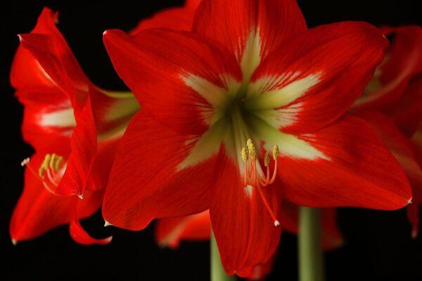 amarilis crveni