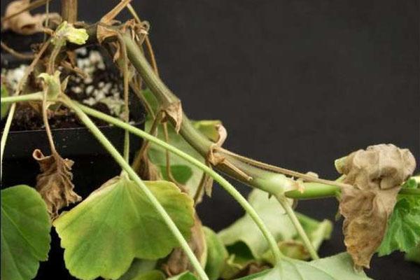 Pelargonije simptomi bakterioze