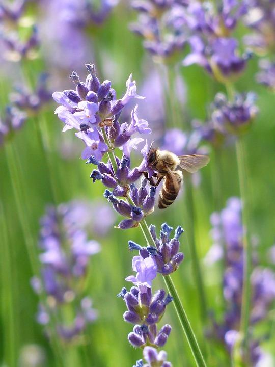 pčela na lavandi