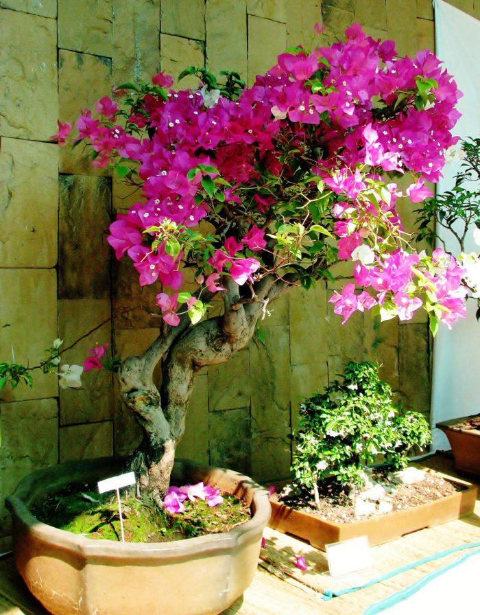 Bugenvilija bonsai