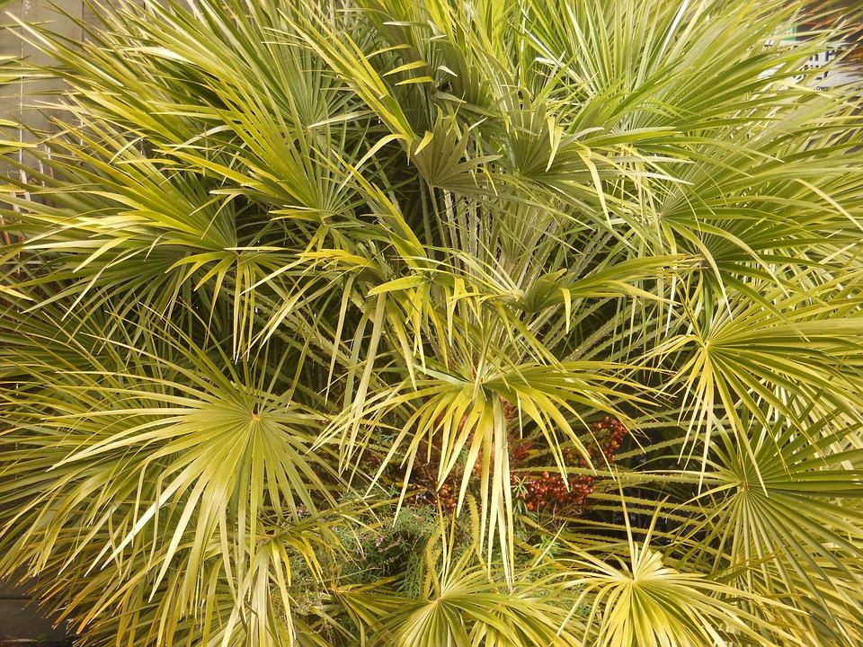 palma žumara