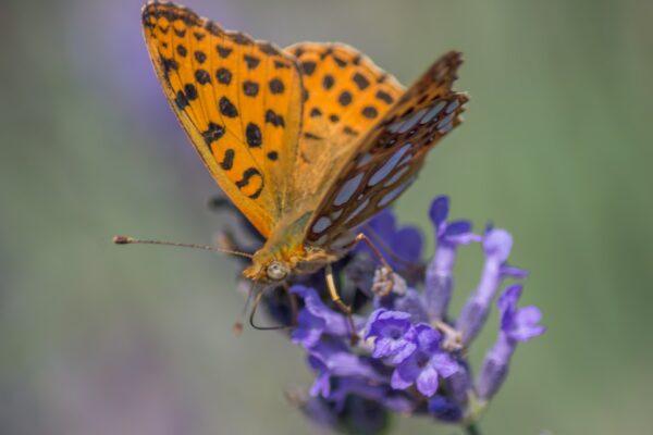 leptir na cvijetu lavande