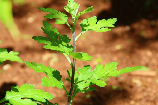 krizantema Vršna reznica dužine 5-6 cm