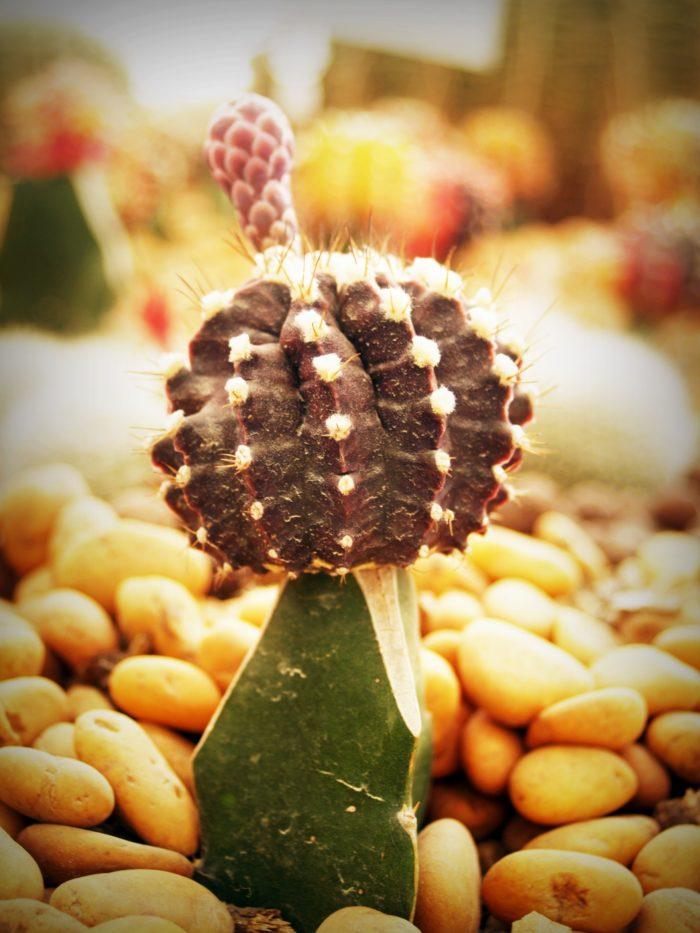 cijepljeni kaktus