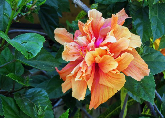 hibiskus dvostrukog cvijeta