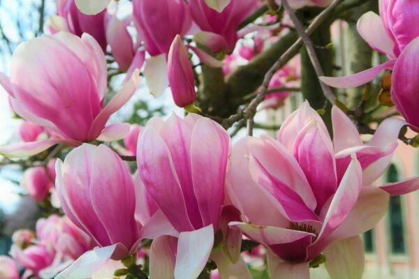 Magnolija liliflora