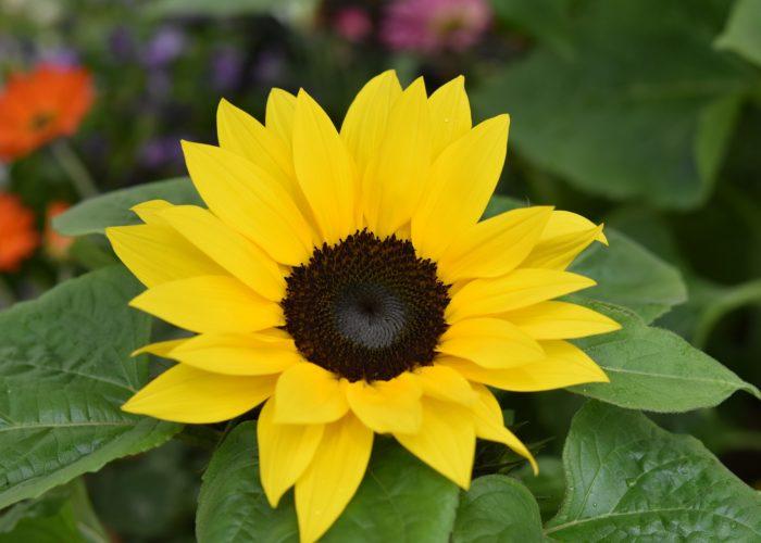 žuti suncokret