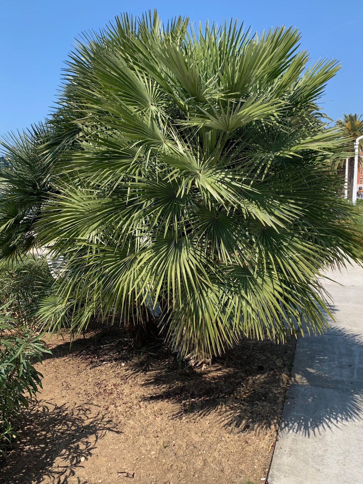 palma grmasta žumara