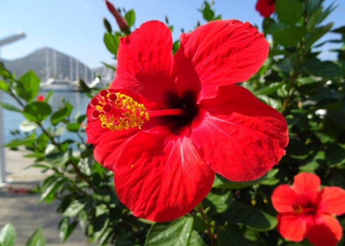 crveni hibiskus