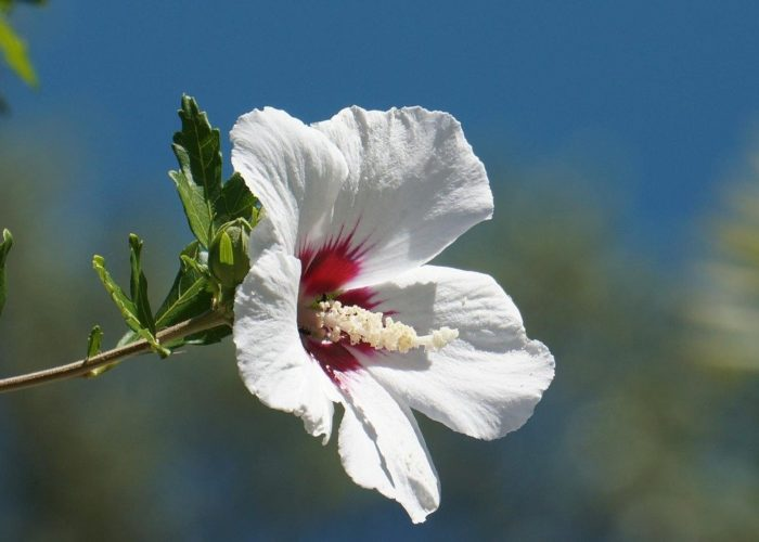 vrtni sljez