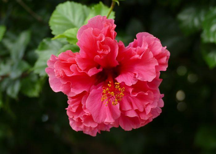hibiskus duplog cvijeta