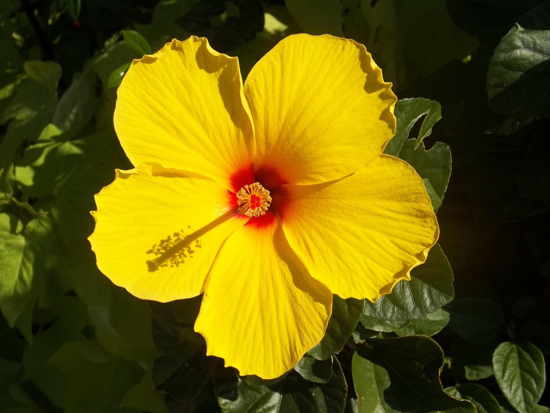 žuti hibiskus