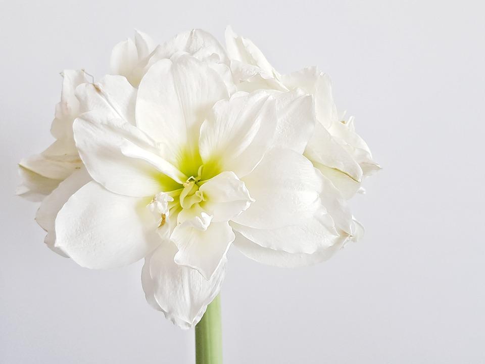 amarilis bijeli