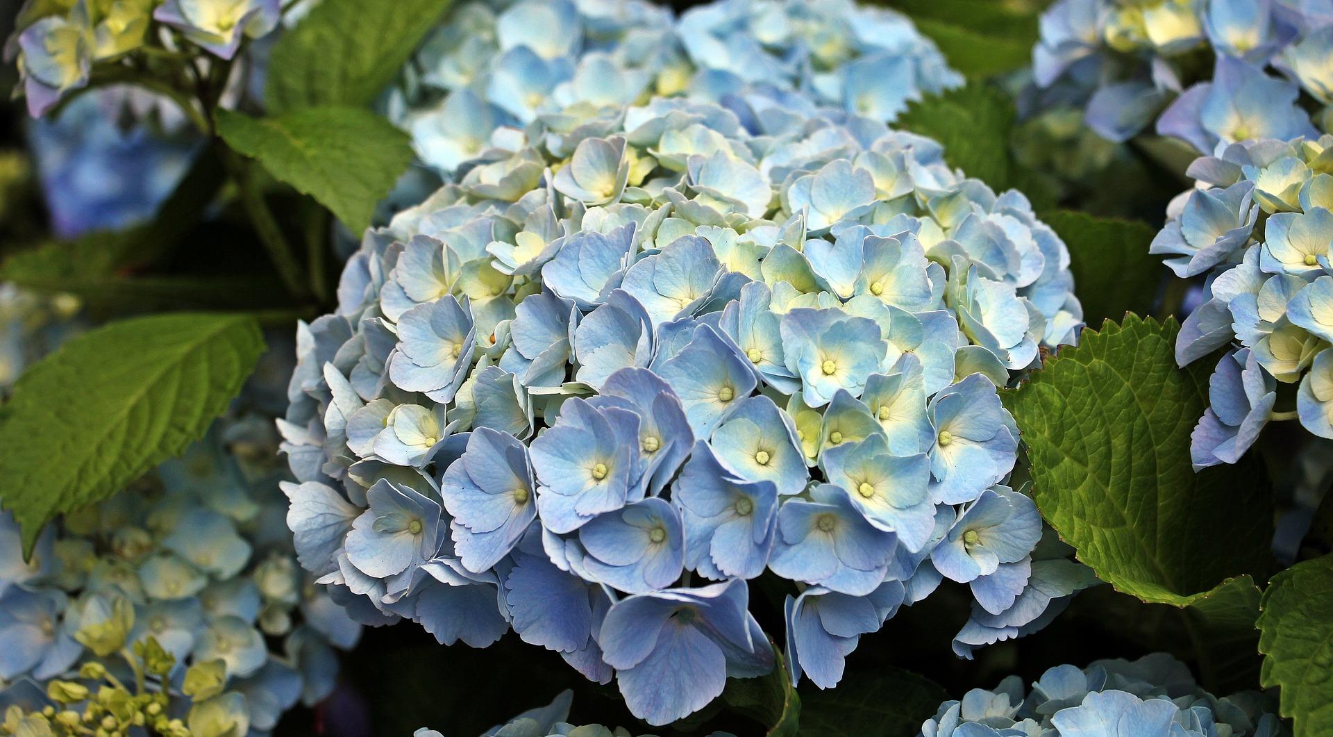plava Hortenzija