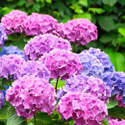 Hortenzija u cvatnji
