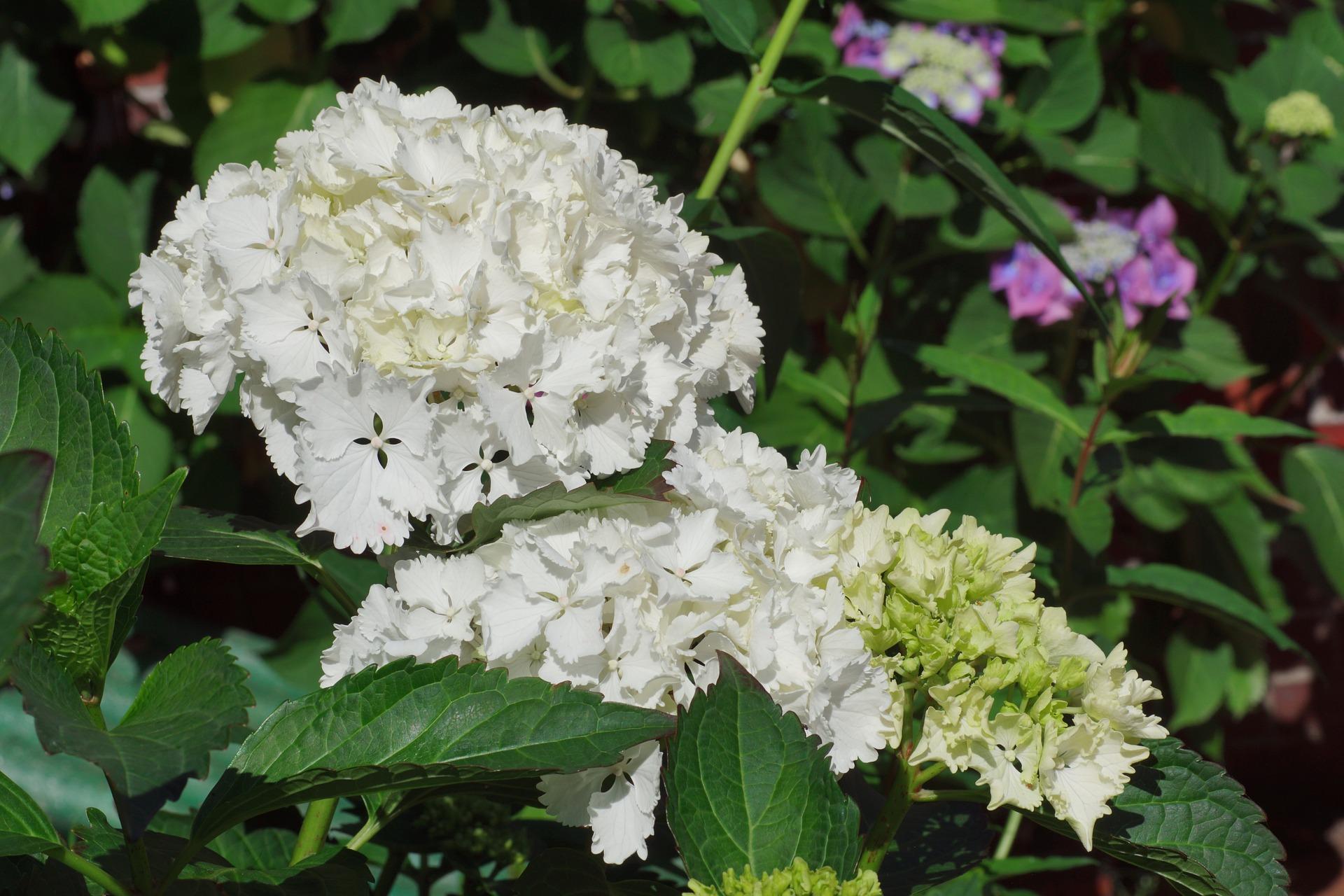 Bijela Hortenzija