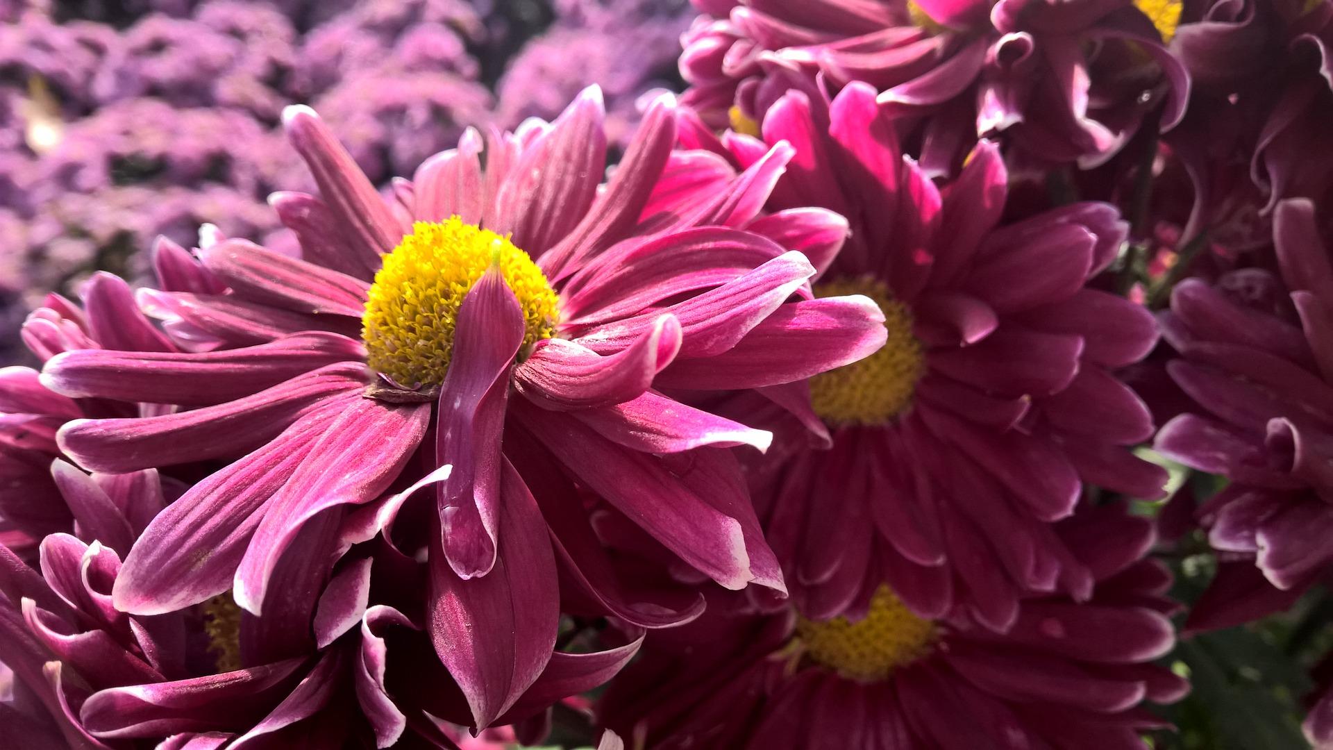 krizantema tip anemone