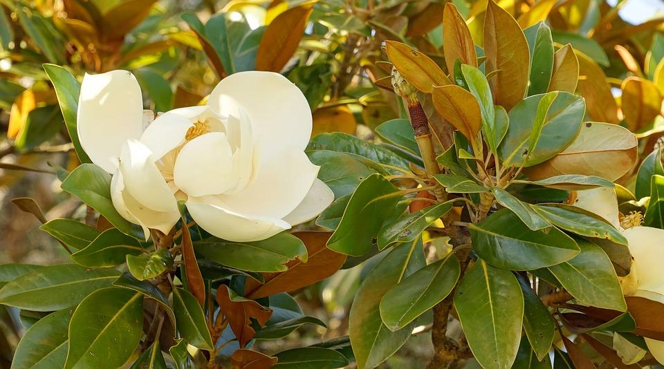 velikocvjetna magnolija