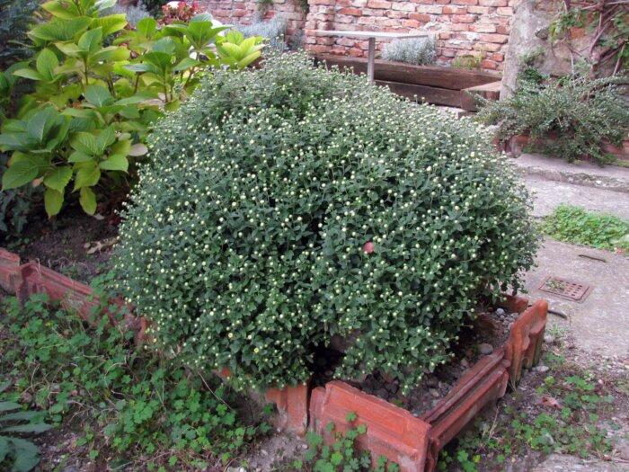 krizantema presađena u vrt