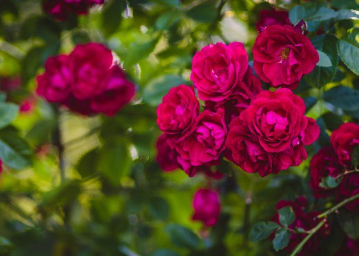 ruža penjačica