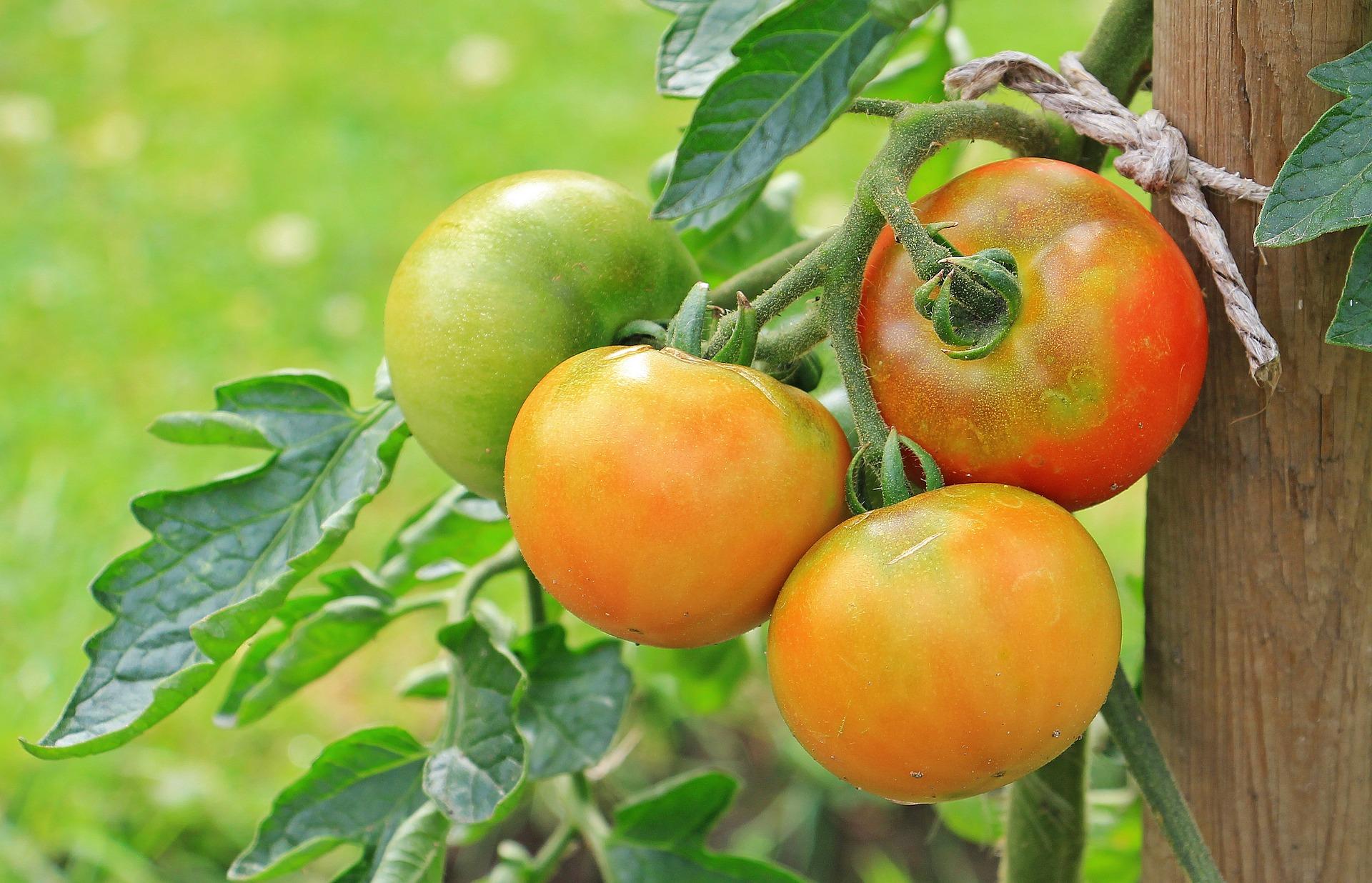 rajčica plod