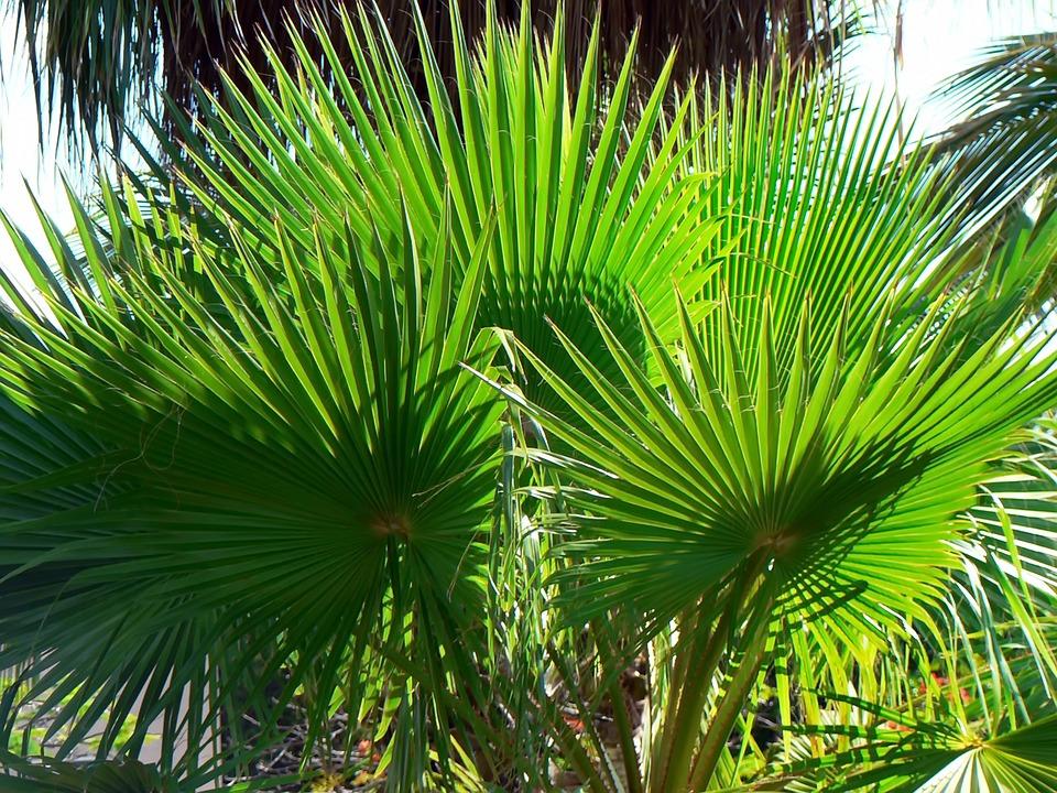 palma vašingtonija