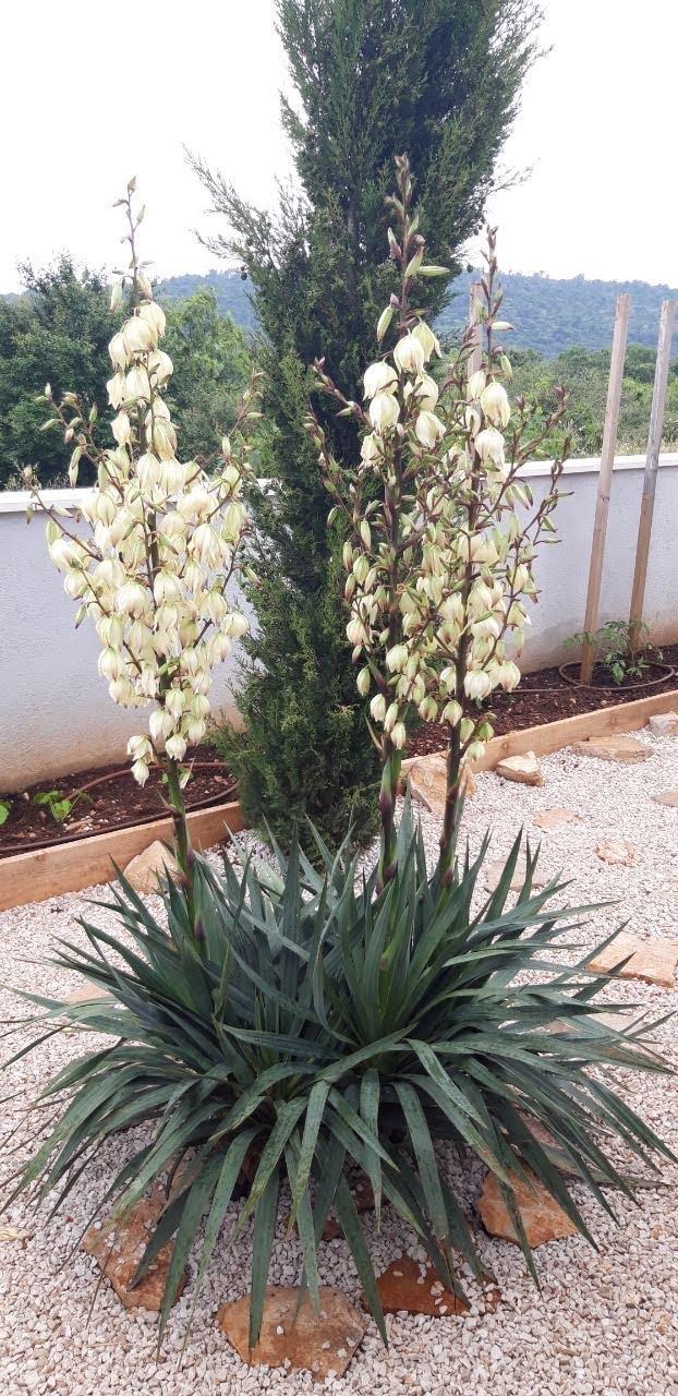 Juka - Yucca gloriosa